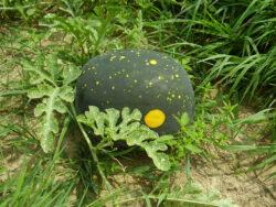 Anguria Luna e Stelle (Citrullus lanatus)