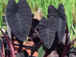 Colocasia 'Black Runner'