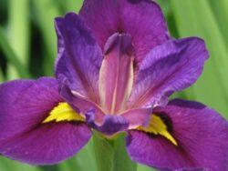 "Iris louisiana ""Pegaletta"""