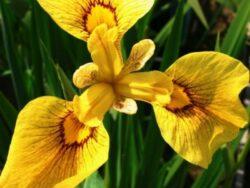 """Iris pseudata""""Chance of Beauty"""""""