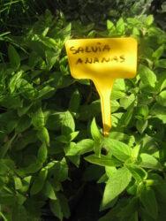 Salvia ananas